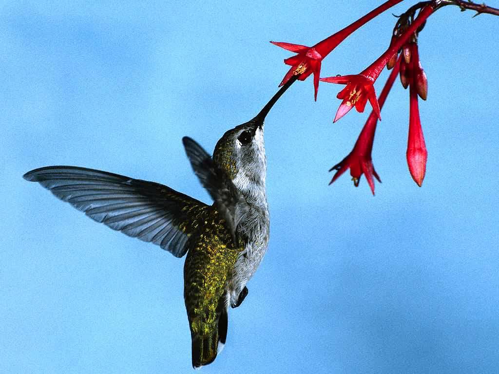 beautiful colibri bird hd - photo #23
