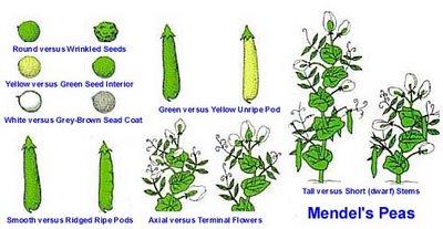 Gregor Mendel Genetics