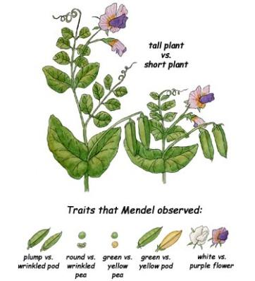 Gregor Mendel peas