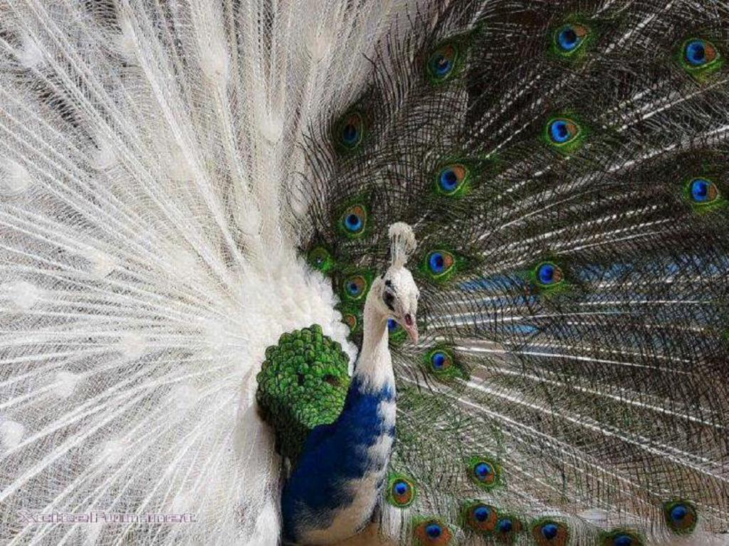 Category archives white peacock wallpapers