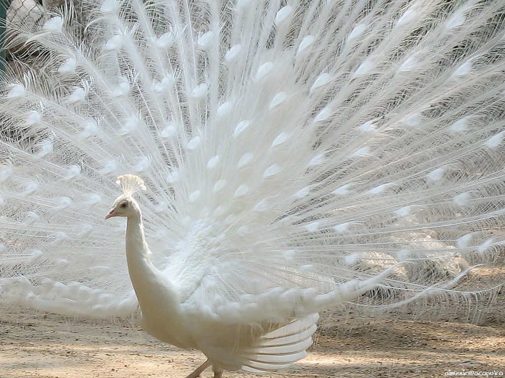 White peacock wallpapers beautiful cool wallpapers for World good images