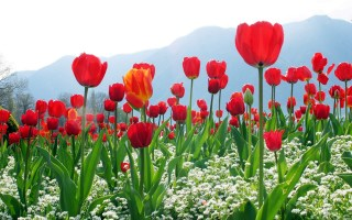 Red Tulips Images