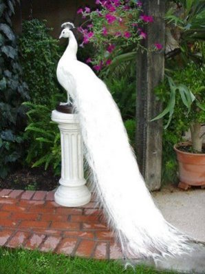 White Peacock Wallpapers