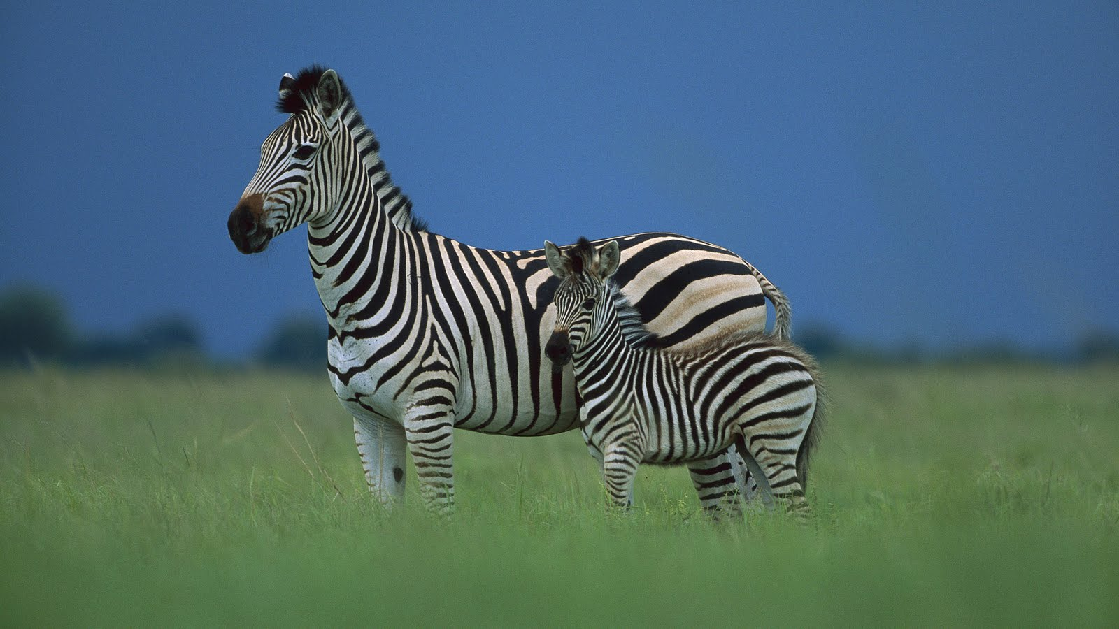Zebra Wallpapers|Zebra Images|Zebra Photos|Zebra Pictures ...