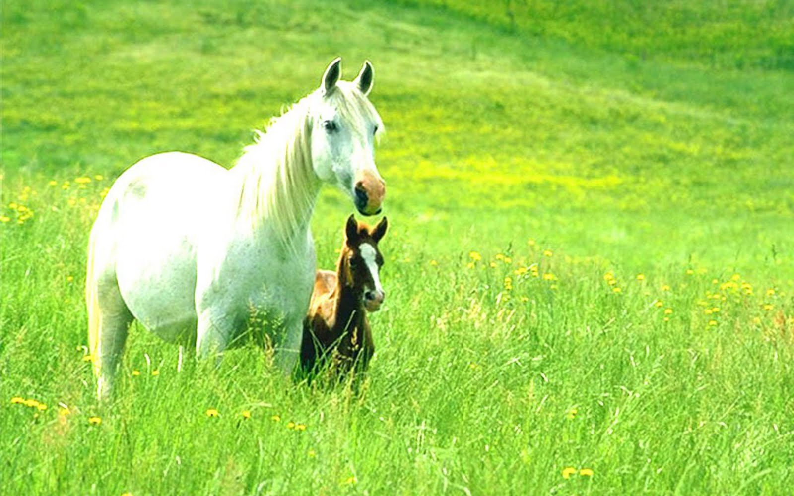 Top Wallpaper Horse Nature - animalswallpapersabouthorsesandponies  HD_84616.jpg