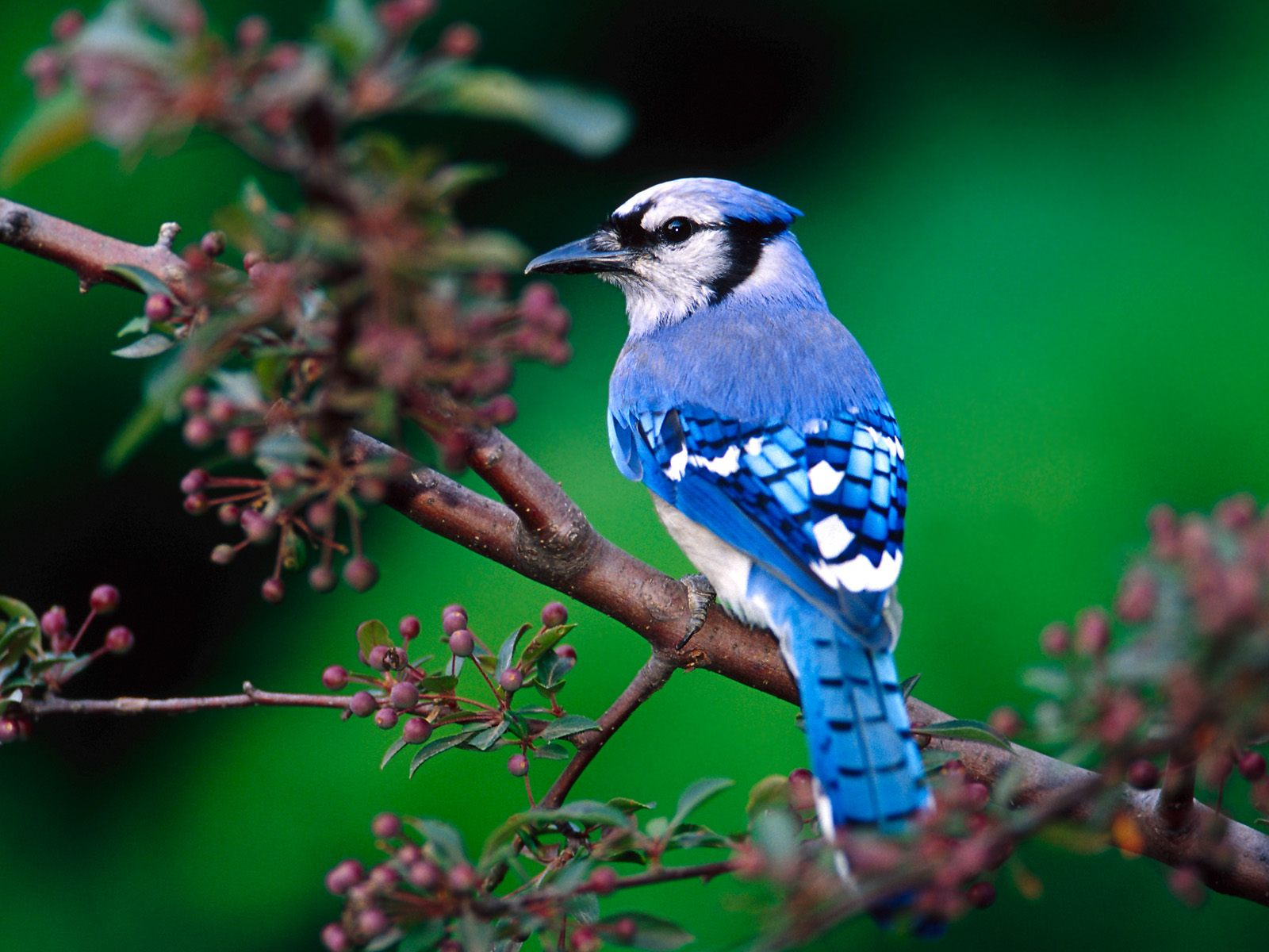 birds nature beautiful bird jay blue green amazing animals bue pretty wallpapers cool love colorful wonderful morning autumn most photography