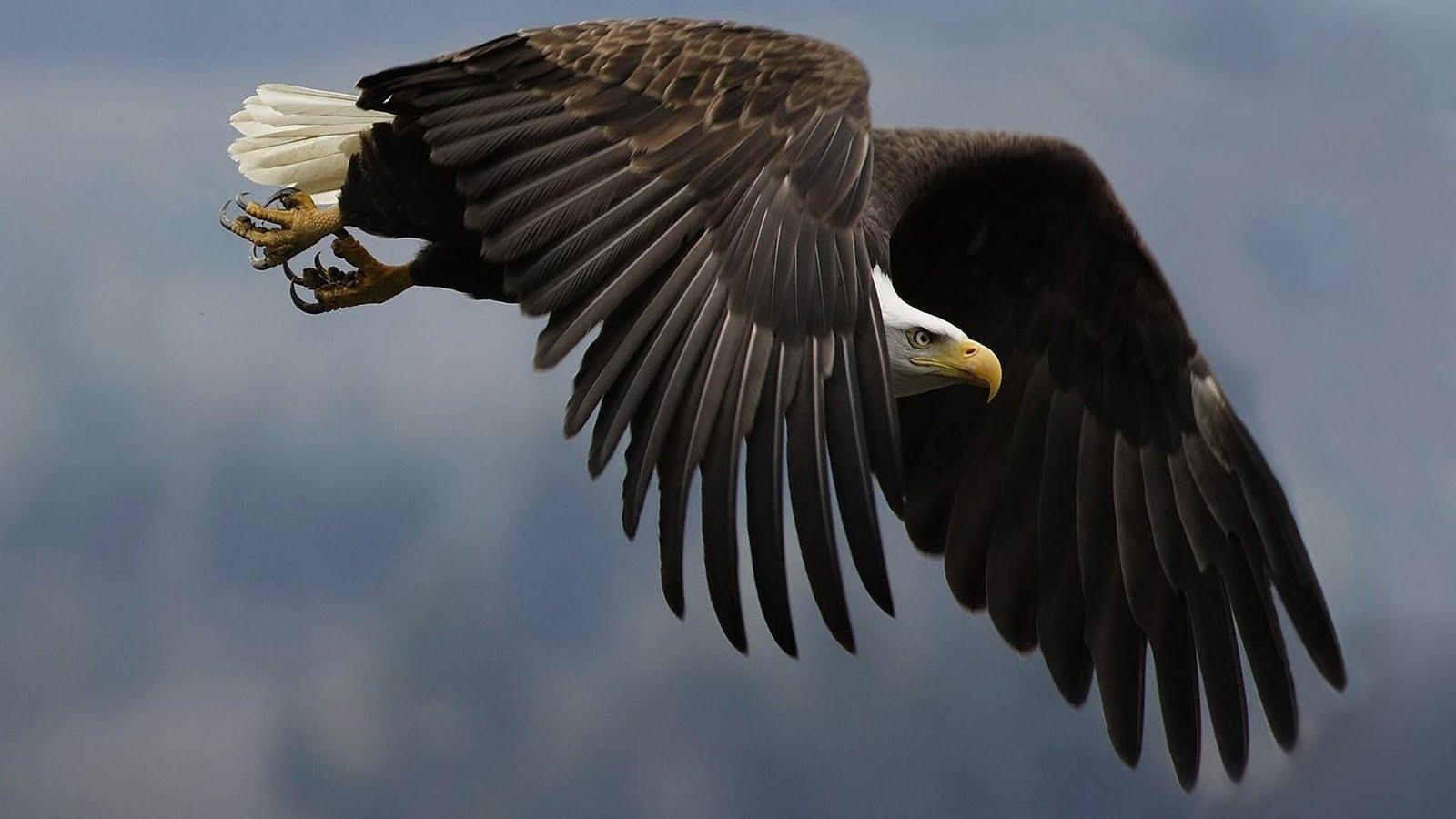 Wonderful Wallpaper Horse Eagle - eagle-flying-wallpaper  Picture_52616.jpg