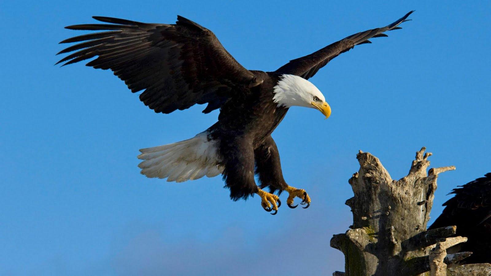Wonderful Wallpaper Horse Eagle - eagle_wallpaperhd  Picture_52616.jpg