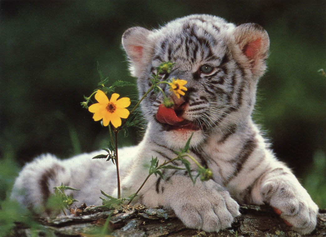 Baby Tiger Cubs Wallpaper