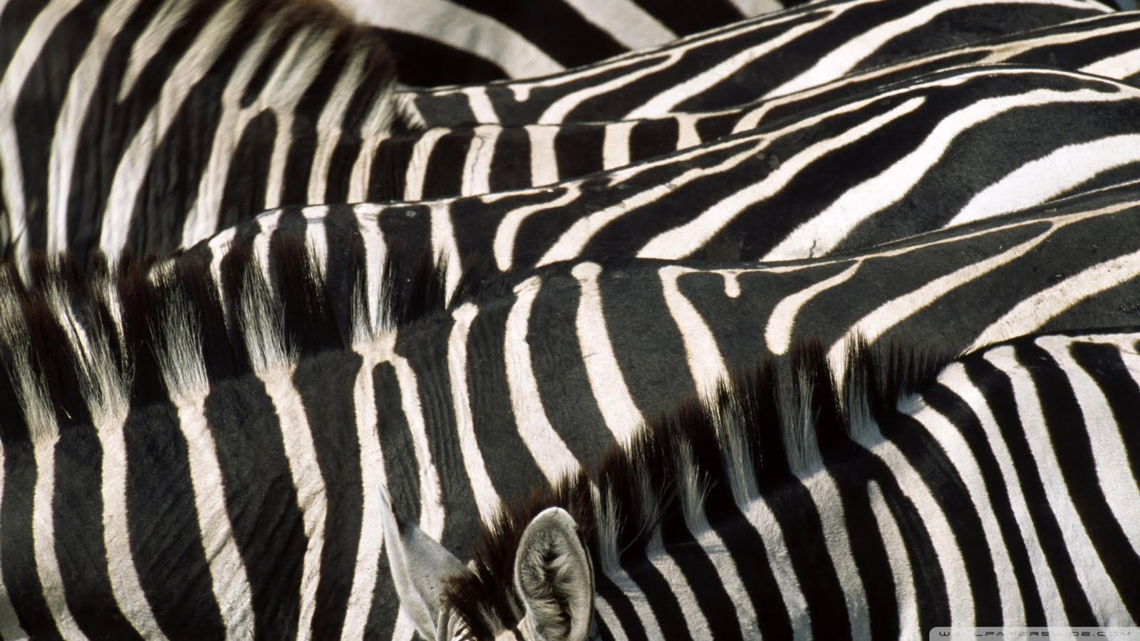 zebra wallpapers zebra images zebra photos zebra pictures