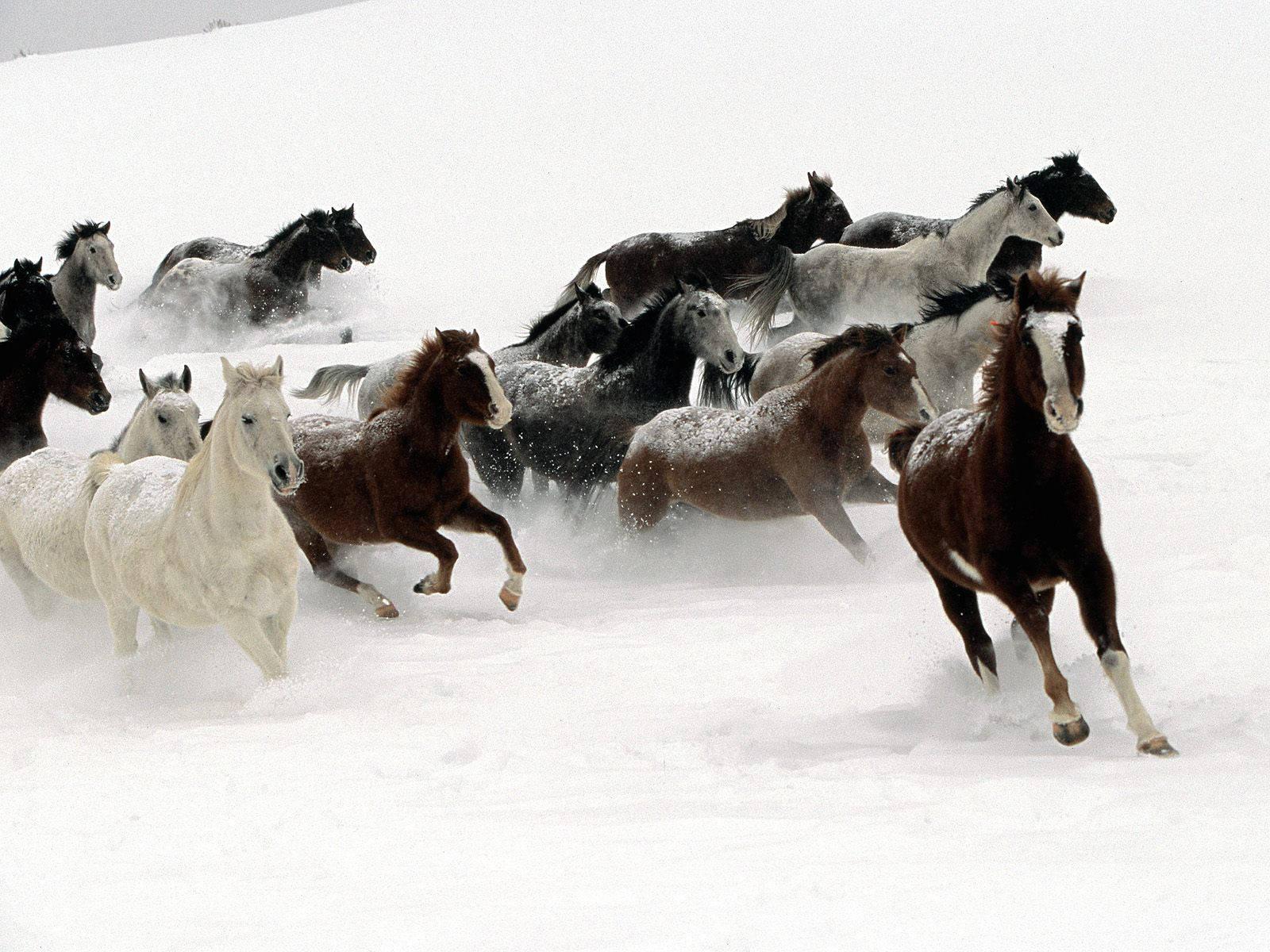 Cool Wallpaper Horse Snow - the-best-top-desktop-horse-wallpapers-29  Trends_100117.jpg