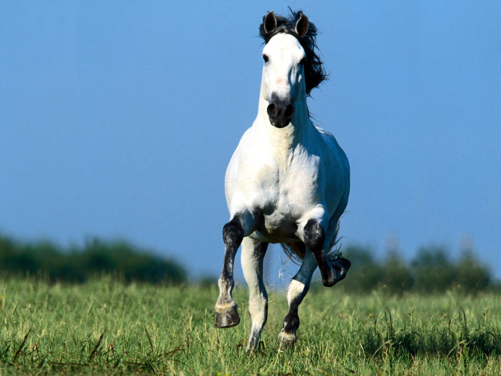 White running horses - photo#37